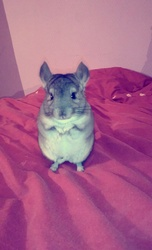 Spoony , rongeur Chinchilla