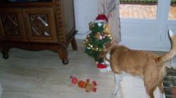 Spot, chien Beagle-Harrier