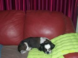 Spot, chien Lhassa Apso