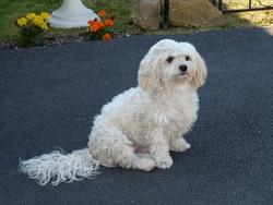 Spouky, chien Bichon maltais