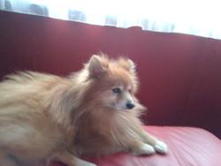 Sptiz, chien Spitz allemand