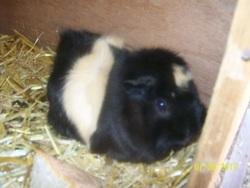 Spydie, rongeur Cochon d'Inde