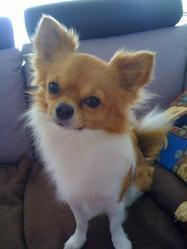 Spyke, chien Chihuahua