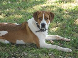 Spyke, chien Braque de Weimar