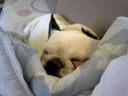 Spyke, chien Bouledogue français