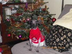 Spyke, chien Petit Basset Griffon vendéen