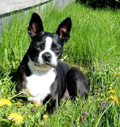 Spykii, chien