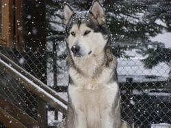 Squaw, chien Malamute de l'Alaska