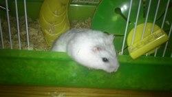 Squeezy Au Paradis, rongeur Hamster