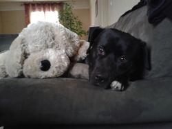 Staff, chien Staffordshire Bull Terrier