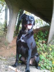 Stan, chien Labrador Retriever