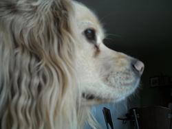 Stan, chien Cocker anglais