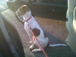 Stan, chien American Staffordshire Terrier