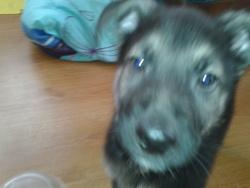 Stan, chien Berger allemand