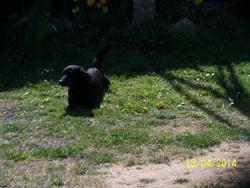 Stan, chien Teckel