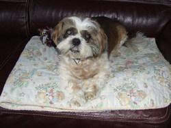 Stanley, chien Shih Tzu