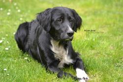 Stanley, chien Border Collie