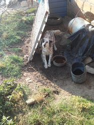 Star, chien Setter anglais