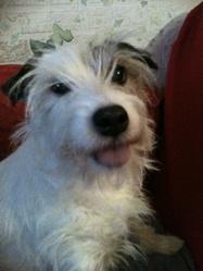 Star, chien Parson Russell Terrier