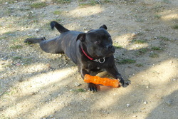 Star, chien Staffordshire Bull Terrier