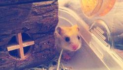 Starlayte, rongeur Hamster