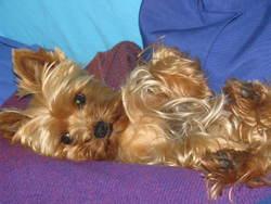 Starlette, chien Yorkshire Terrier