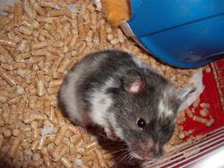 Starlight, rongeur Hamster
