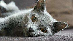 Stay, chat Chartreux