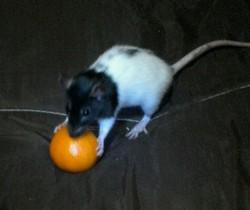 Stéfie, rongeur Rat