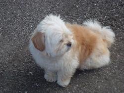 Stela, chien Bichon maltais