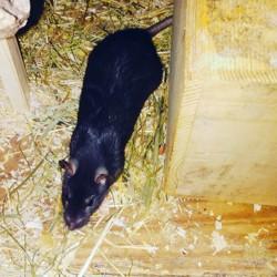 Stela, rongeur Rat