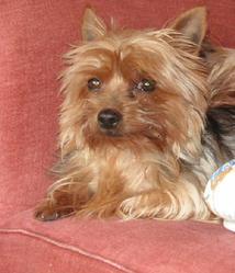 Stela, chien Yorkshire Terrier