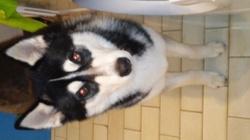 Stelios, chien Husky sibérien