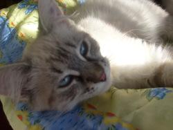 Stella, chat Siamois