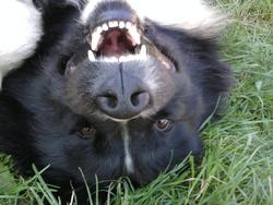 Stella, chien Terre-Neuve