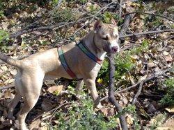 Stella, chien Staffordshire Bull Terrier