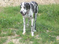 Stella, chien Dogue allemand