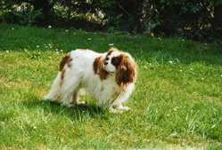 Stella, chien Cavalier King Charles Spaniel