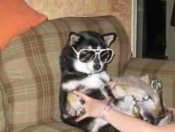 Stella, chien Shiba Inu