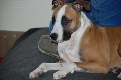 Stella, chien American Staffordshire Terrier