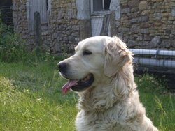Stella, chien Golden Retriever