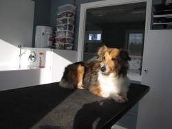 Stella, chien Berger des Shetland