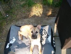 Stella, chien Boxer