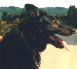 Stella    Décédée , chien Berger allemand