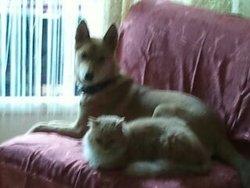 Stella, chien Berger belge
