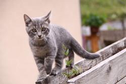 Stella, chat Chartreux