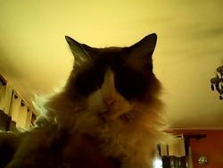 Stella, chat Ragdoll