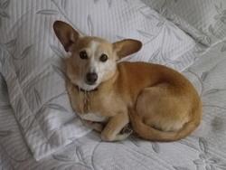 Stella, chien Chihuahua