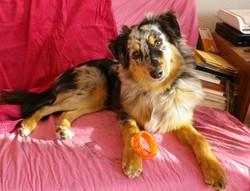 Stella De L'herbier Féérique, chien Berger australien