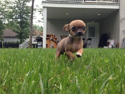 Stewie, chien Chihuahua